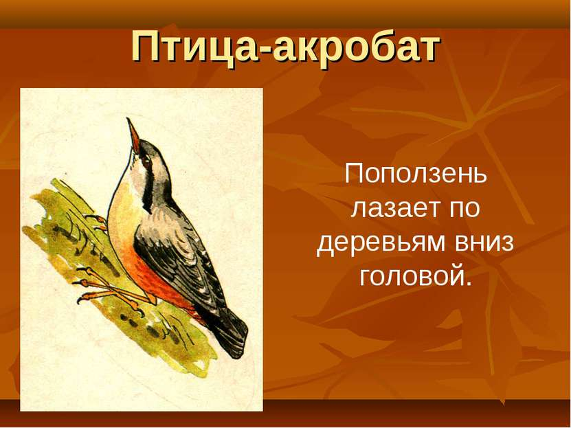Птица-акробат Поползень лазает по деревьям вниз головой.