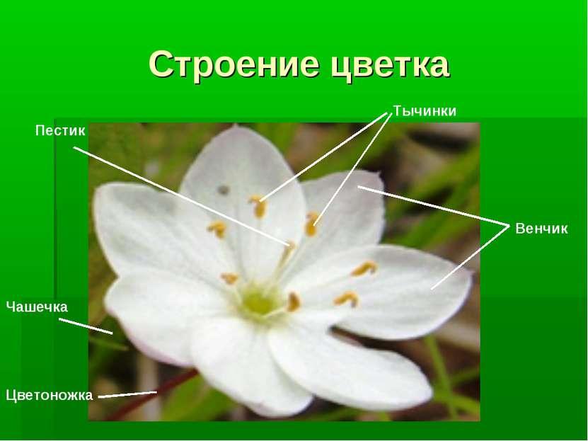 Строение цветка Венчик Пестик Тычинки Цветоножка Чашечка