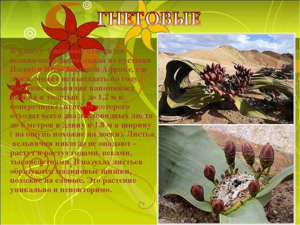К классу Гнетовые относится вельвичия удивительная из пустыни Намиб в Юго-Зап...