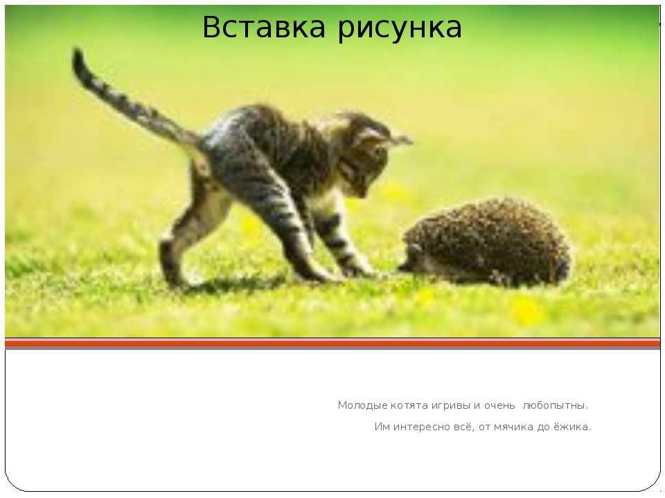 Молодые котята игривы и очень любопытны. Им интересно всё, от мячика до ёжика.