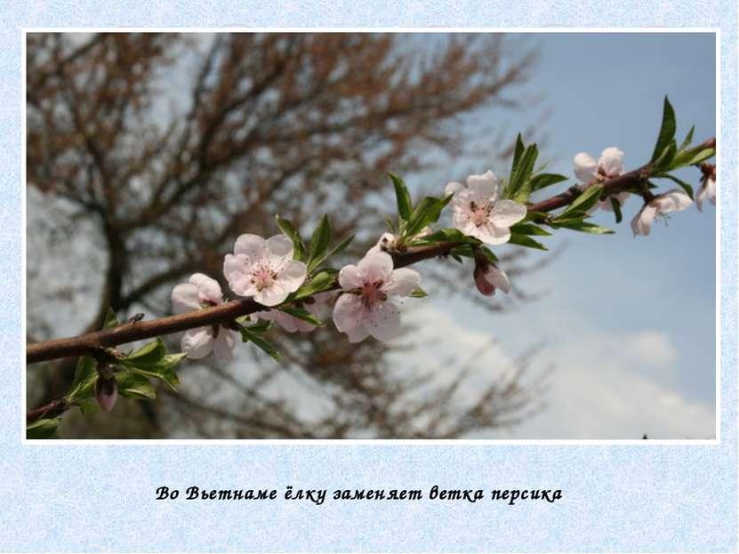 Во Вьетнаме ёлку заменяет ветка персика