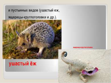 ушастый ёж и пустынных видов (ушастый еж, ящерицы-круглоголовки и др.).