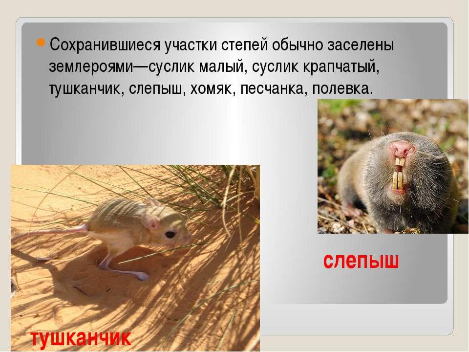 тушканчик Сохранившиеся участки степей обычно заселены землероями—суслик малы...