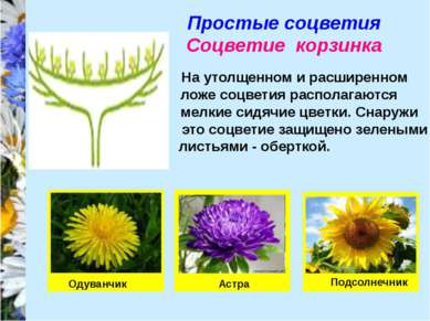 Простые соцветия Соцветие корзинка На утолщенном и расширенном ложе соцветия ...