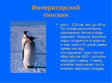 Императорский пингвин рост - 120 см, вес до 40 кг. По бокам расположены оранж...