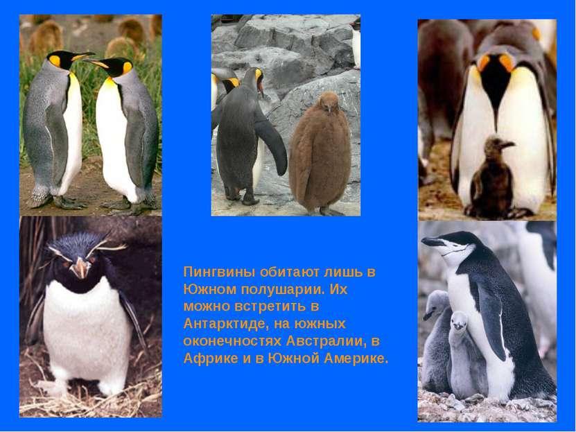 Пингвины обитают лишь в Южном полушарии. Их можно встретить в Антарктиде, на ...