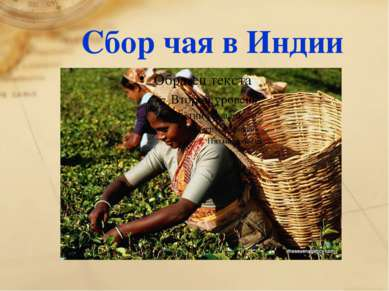 Сбор чая в Индии