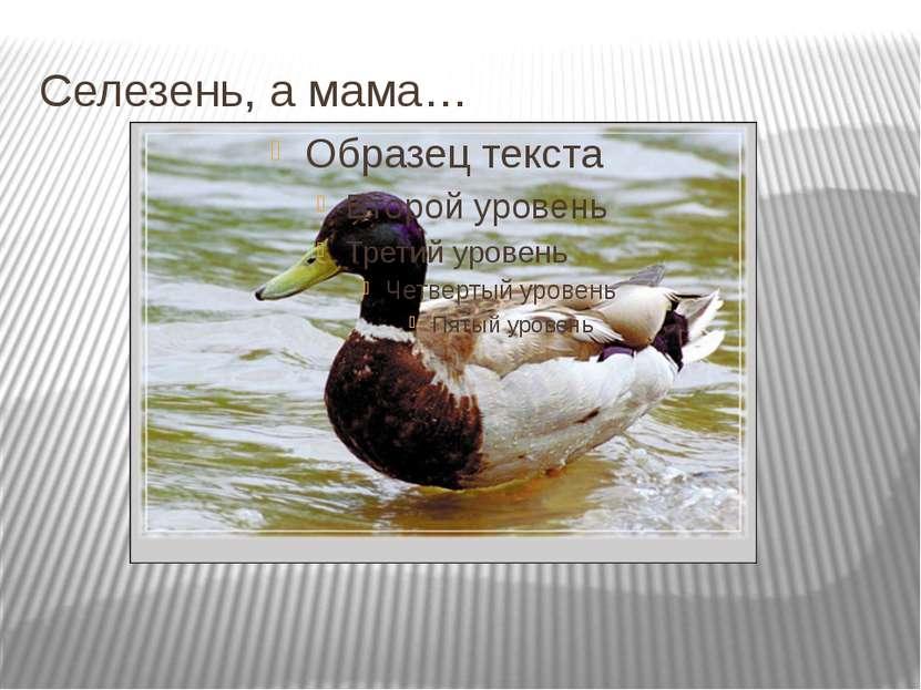 Селезень, а мама…