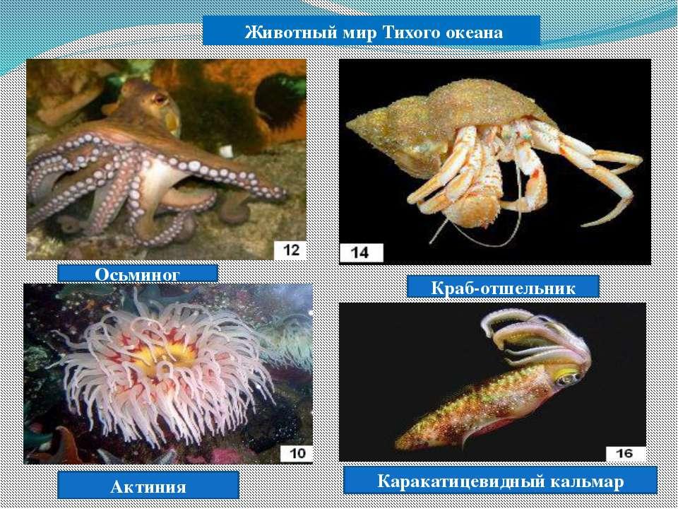 Животный мир Тихого океана Осьминог Краб-отшельник Актиния Каракатицевидный к...