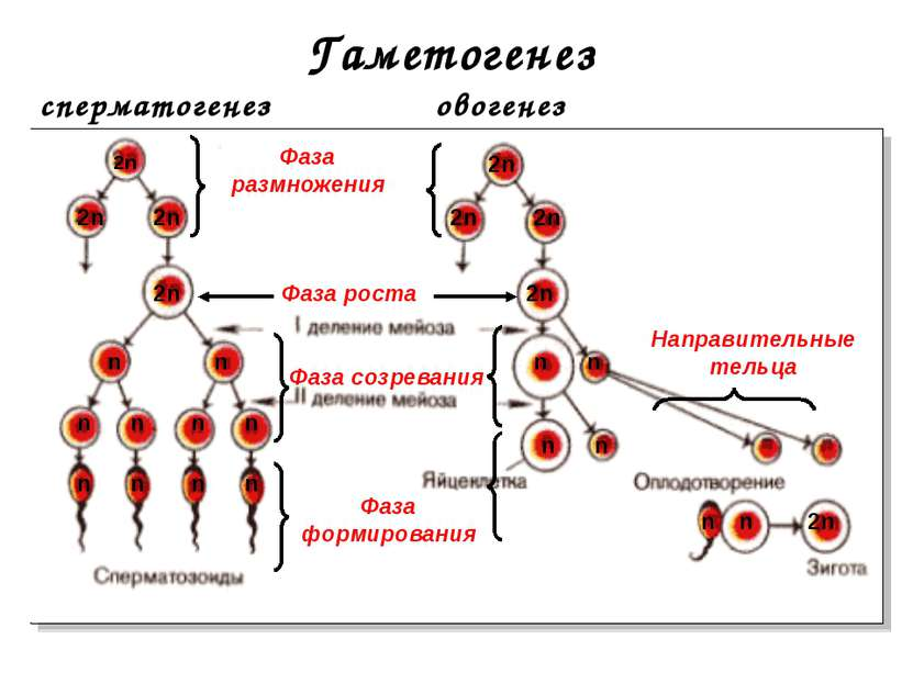 Гаметогенез сперматогенез овогенез Фаза размножения Фаза роста Фаза созревани...