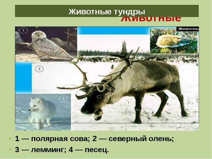 Животные тундры 1 — полярная сова; 2 — северный олень; 3 — лемминг; 4 — песец...