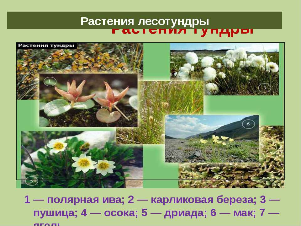 Растения тундры 1 — полярная ива; 2 — карликовая береза; 3 — пушица; 4 — осок...