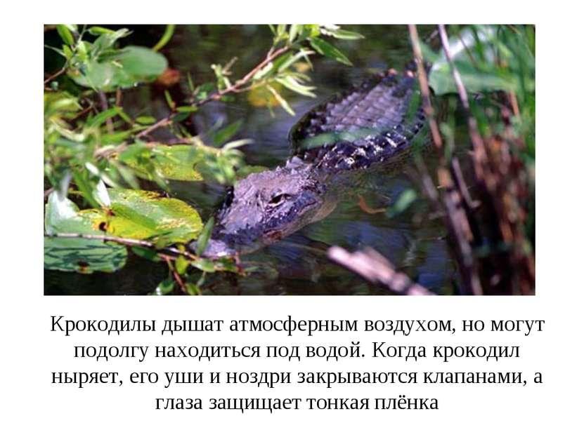Крокодилы дышат атмосферным воздухом, но могут подолгу находиться под водой. ...