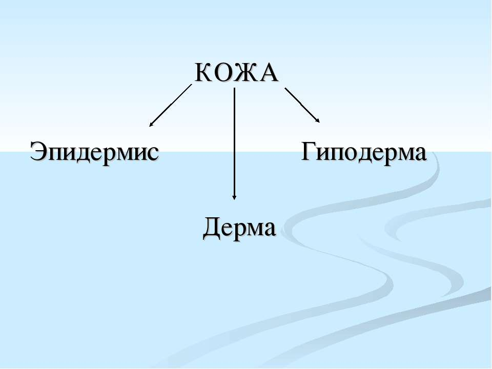 КОЖА Эпидермис Гиподерма Дерма