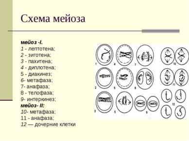 Схема мейоза мейоз -I. 1 - лептотена; 2 - зиготена; 3 - пахитена; 4 - диплоте...