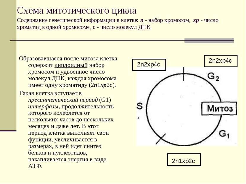 Схема митотического цикла Содержание генетической информации в клетке: п - на...