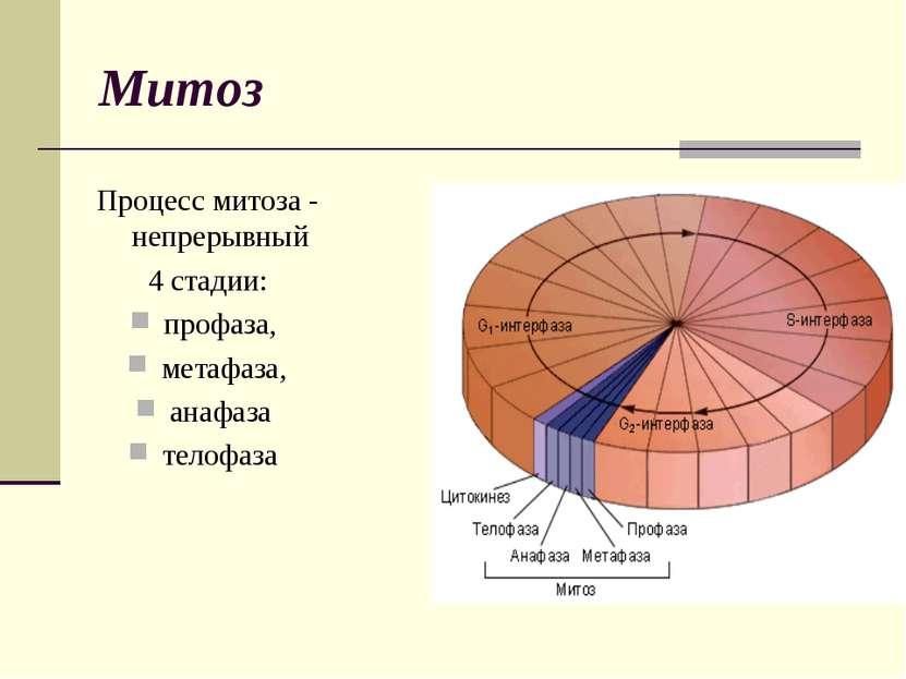 Митоз Процесс митоза - непрерывный 4 стадии: профаза, метафаза, анафаза телофаза