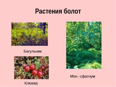 Растения болот Мох- сфагнум Багульник Клюква