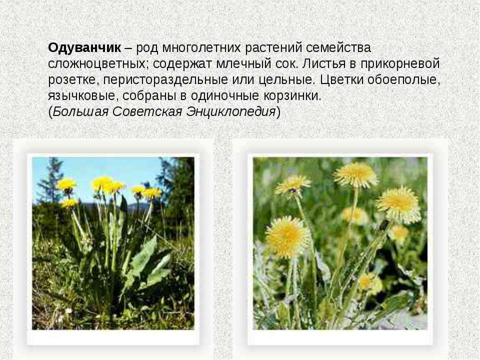 Одуванчик – род многолетних растений семейства сложноцветных; содержат млечны...