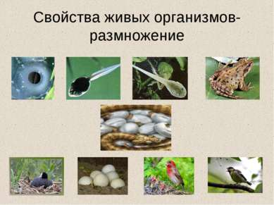 Свойства живых организмов- размножение
