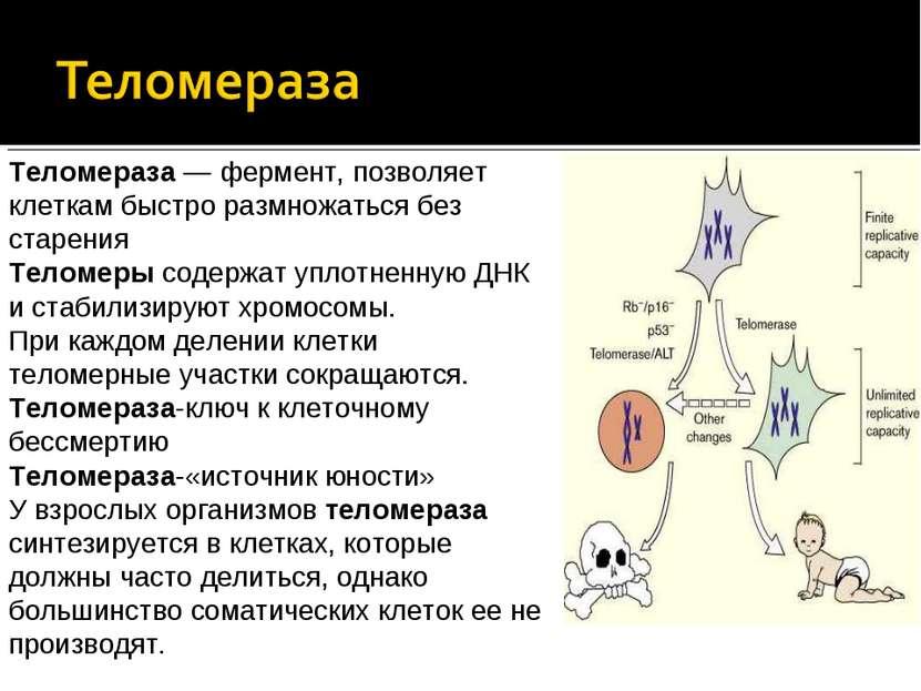Теломераза — фермент, позволяет клеткам быстро размножаться без старения Тело...