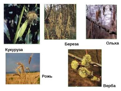 Кукуруза Береза Ольха Верба Рожь