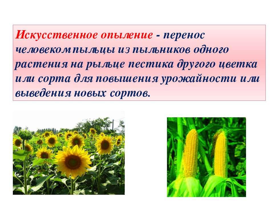 Искусственное опыление - перенос человеком пыльцы из пыльников одного растени...