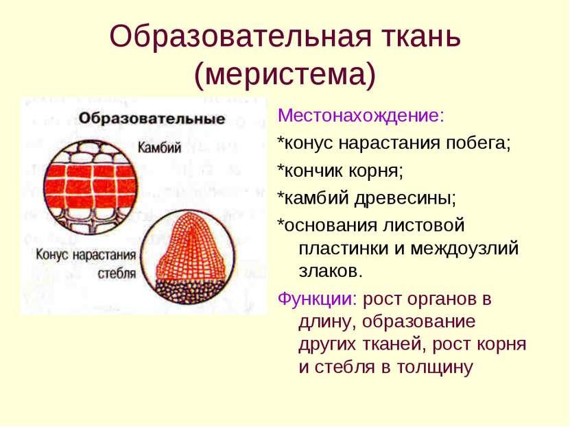 Образовательная ткань (меристема) Местонахождение: *конус нарастания побега; ...