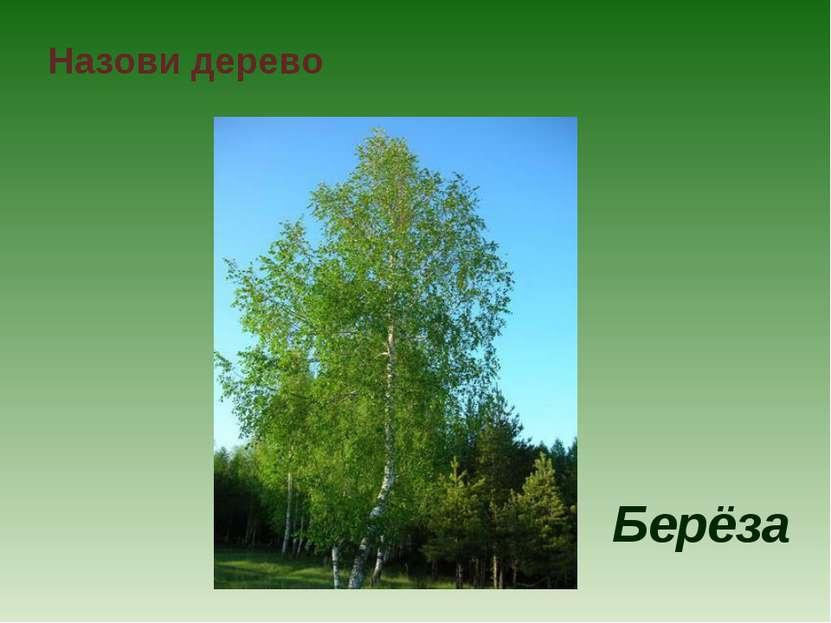 Назови дерево Берёза