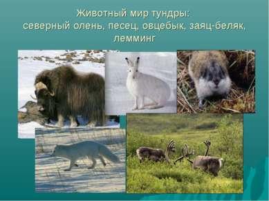 Животный мир тундры: северный олень, песец, овцебык, заяц-беляк, лемминг