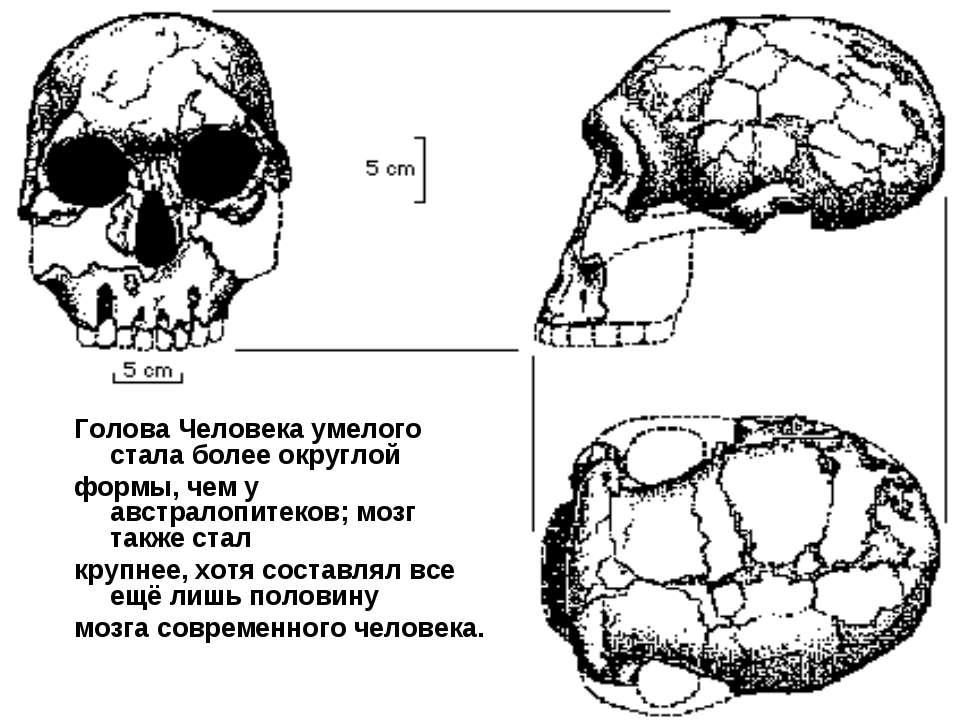 Голова Человека умелого стала более округлой формы, чем у австралопитеков; мо...