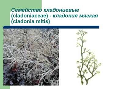 Семейство кладониевые (cladoniaceae) - кладония мягкая (cladonia mitis)
