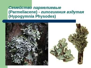 Семейство пармелиевые (Parmeliacene) - гипогимния вздутая (Hypogymnia Physodes)