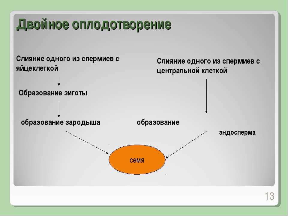 Двойное оплодотворение * Слияние одного из спермиев с яйцеклеткой Образование...
