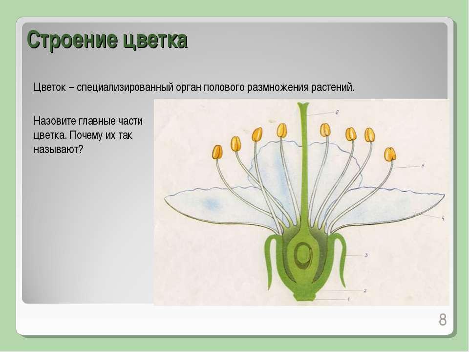 Строение цветка * Цветок – специализированный орган полового размножения раст...