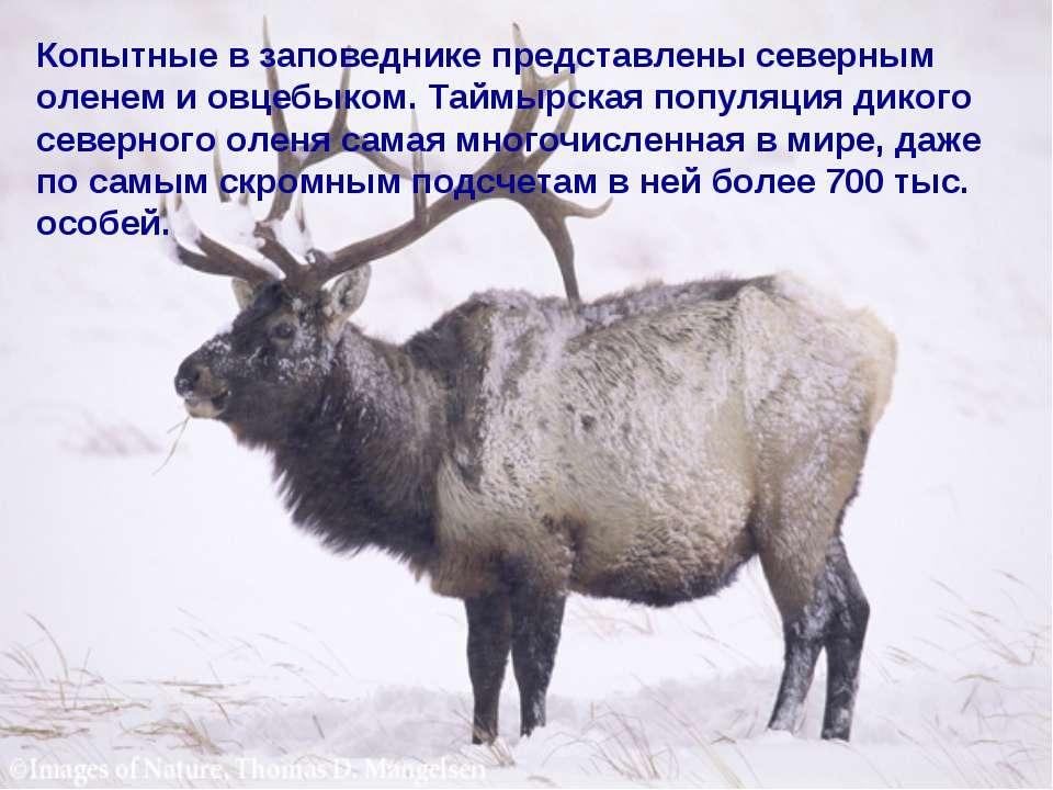 Копытные в заповеднике представлены северным оленем и овцебыком. Таймырская п...