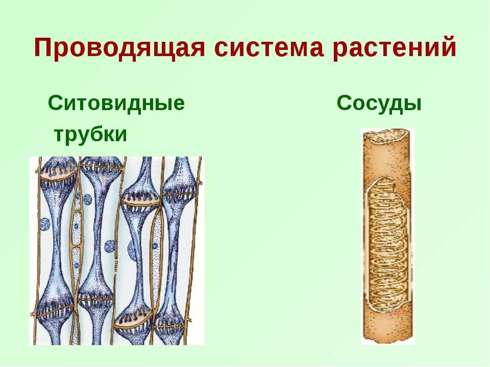 Проводящая система растений Ситовидные Сосуды трубки