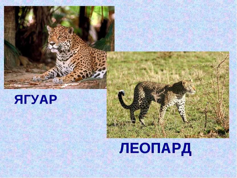 ЯГУАР ЛЕОПАРД