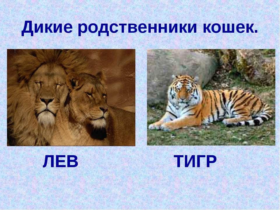 Дикие родственники кошек. ЛЕВ ТИГР
