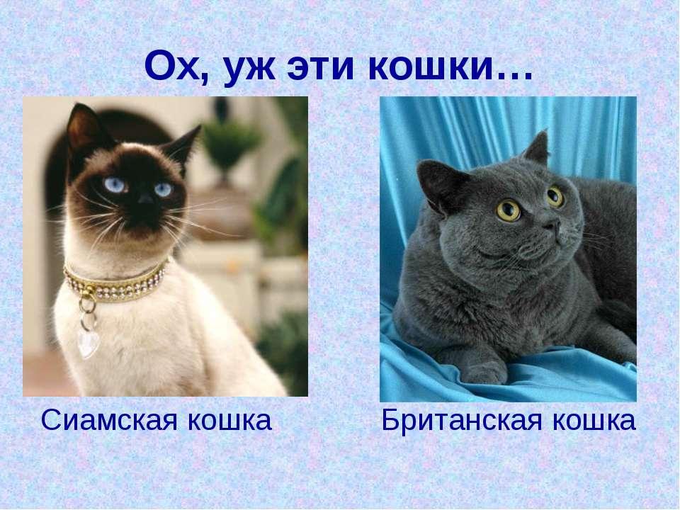 Ох, уж эти кошки… Сиамская кошка Британская кошка