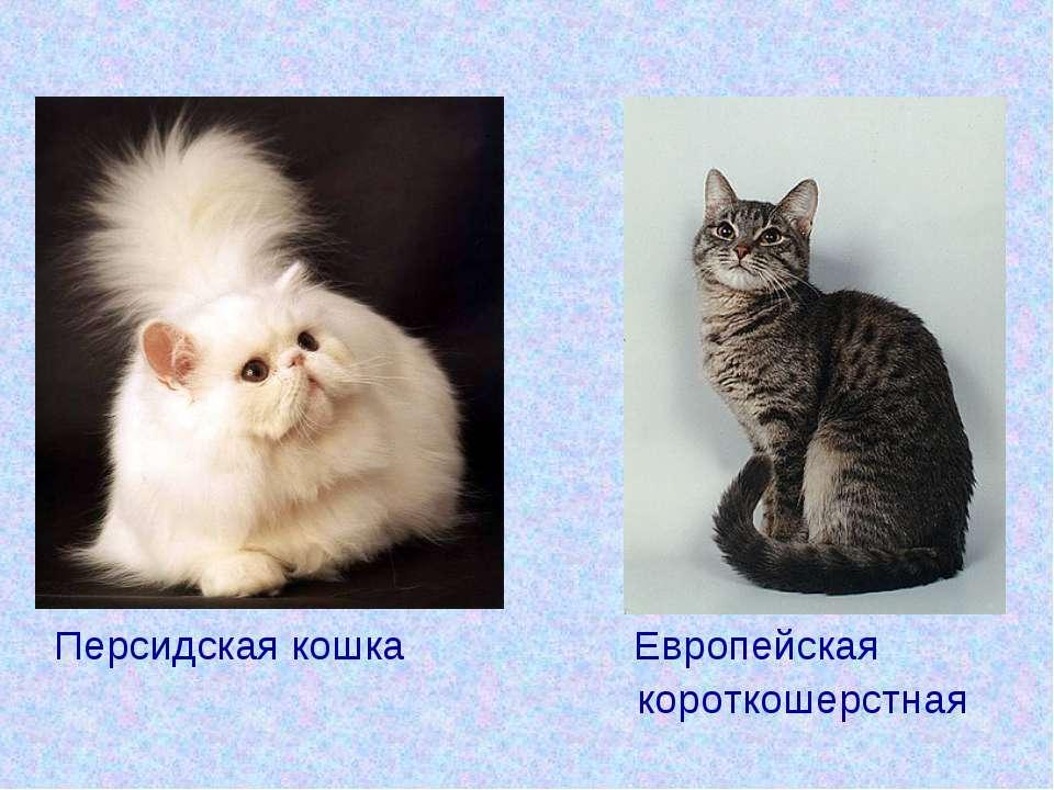 Персидская кошка Европейская короткошерстная