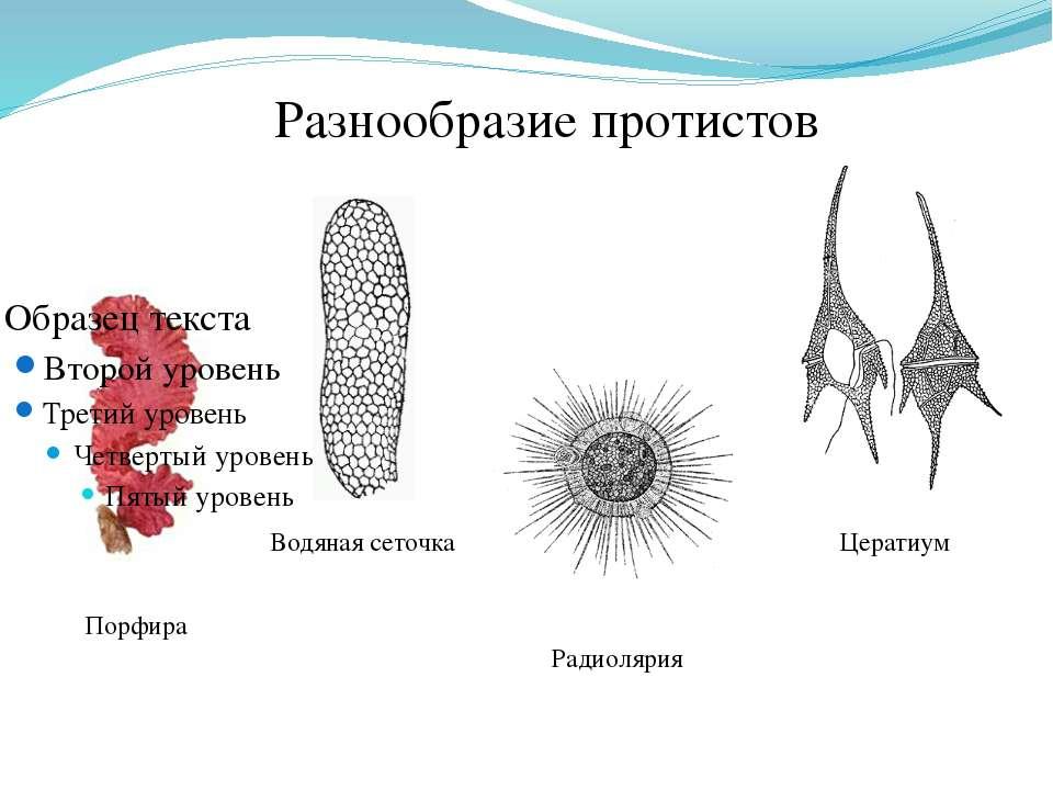 Порфира Водяная сеточка Радиолярия Цератиум Разнообразие протистов