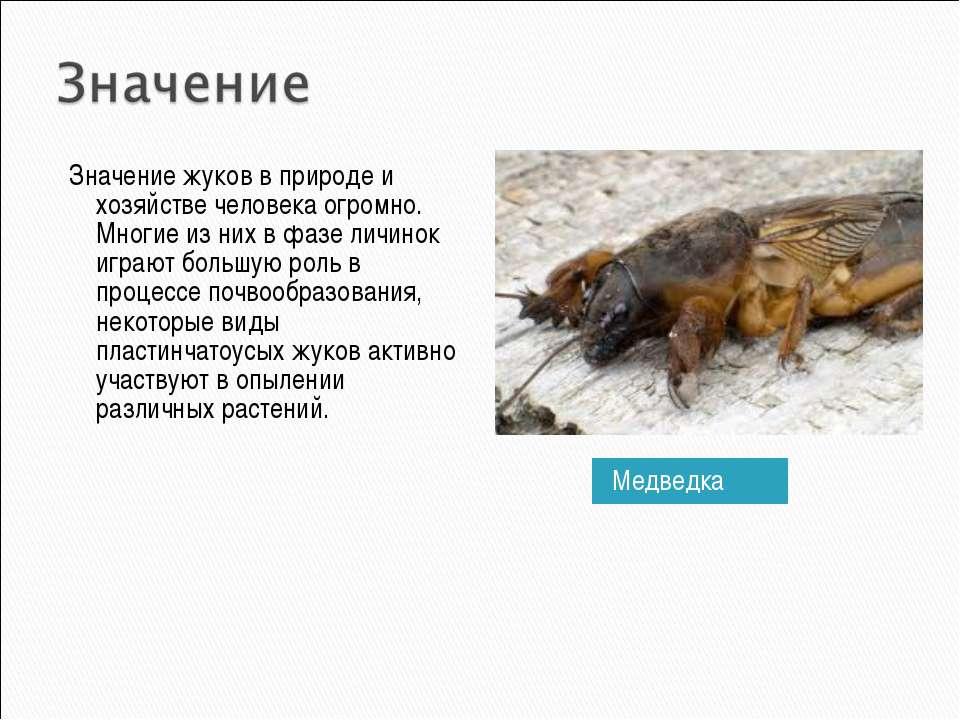 Медведка Значение жуков в природе и хозяйстве человека огромно. Многие из них...