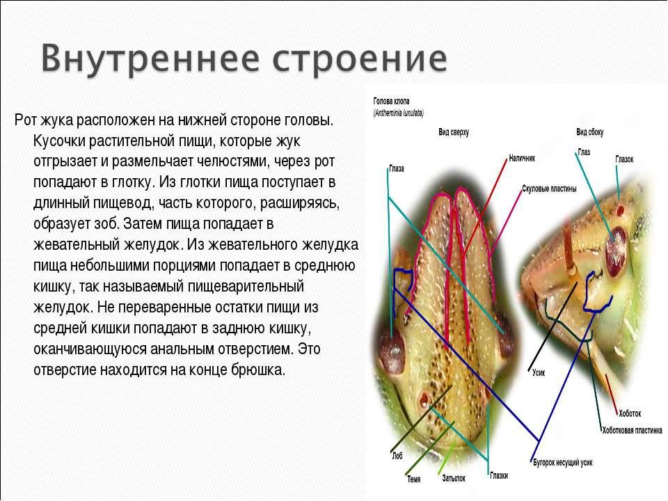 Рот жука расположен на нижней стороне головы. Кусочки растительной пищи, кото...