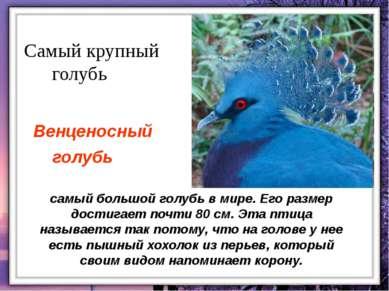 самый большой голубь в мире. Его размер достигает почти 80 см. Эта птица назы...