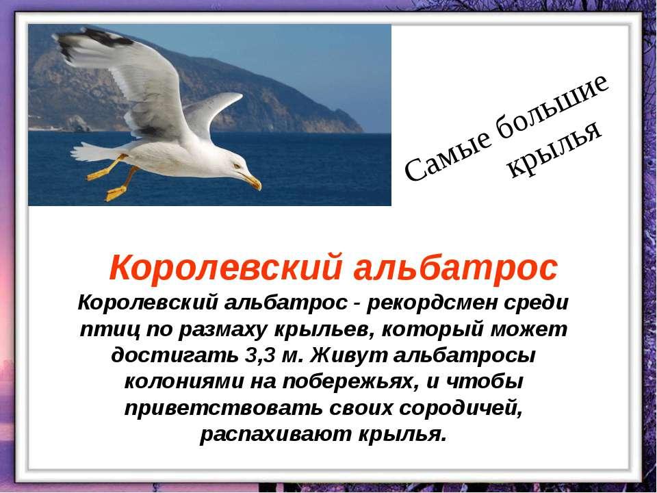 Королевский альбатрос - рекордсмен среди птиц по размаху крыльев, который мож...