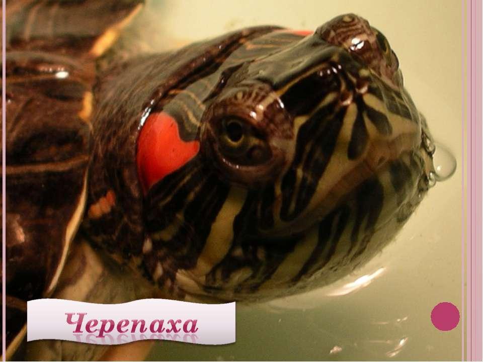 Можно ли определить пол красноухой черепахи в возрасте 1 года?