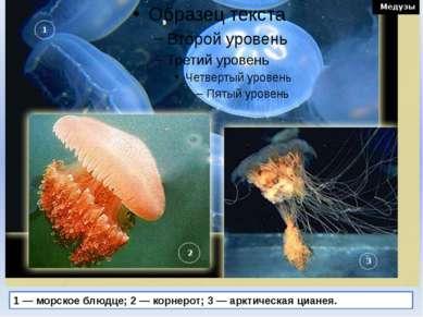 1 — морское блюдце; 2 — корнерот; 3 — арктическая цианея.