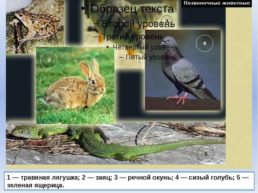 1 — травяная лягушка; 2 — заяц; 3 — речной окунь; 4 — сизый голубь; 5 — зелен...