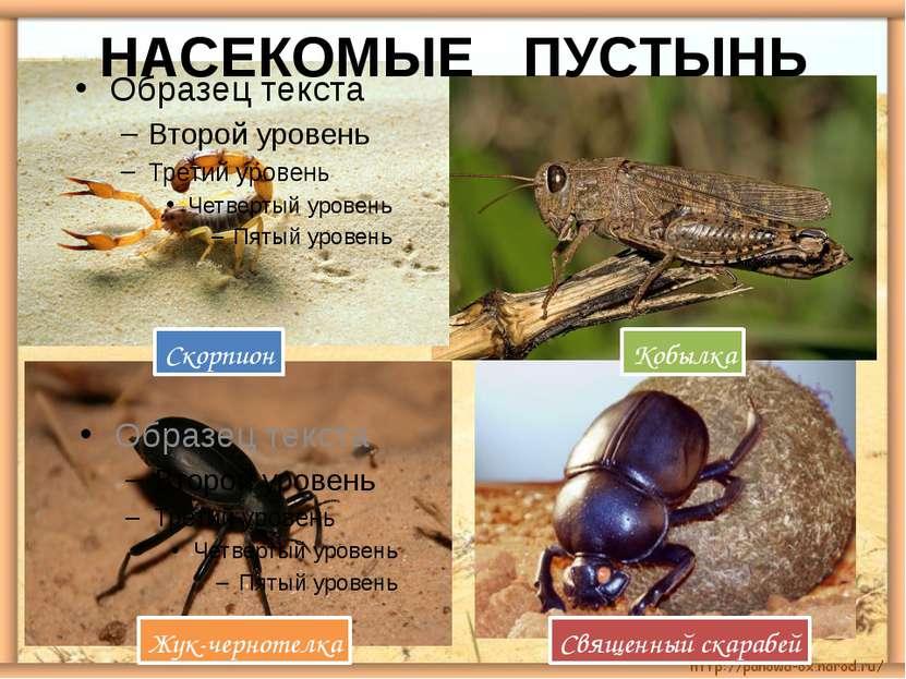 НАСЕКОМЫЕ ПУСТЫНЬ Скорпион Жук-чернотелка Священный скарабей Кобылка